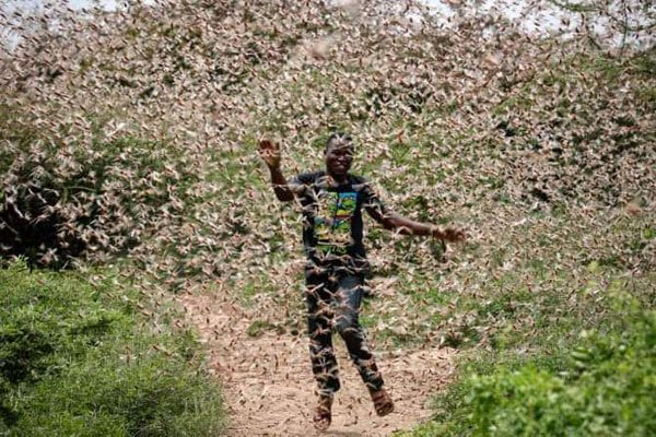 World Bank approves $500m loan towards locust invasion mitigation
