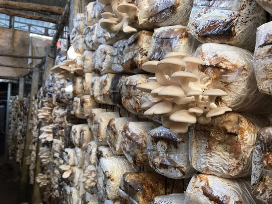 Success Story from the BiomassWeb Project: 'Using Cassava Peels for Mushroom Cultivation' Project.
