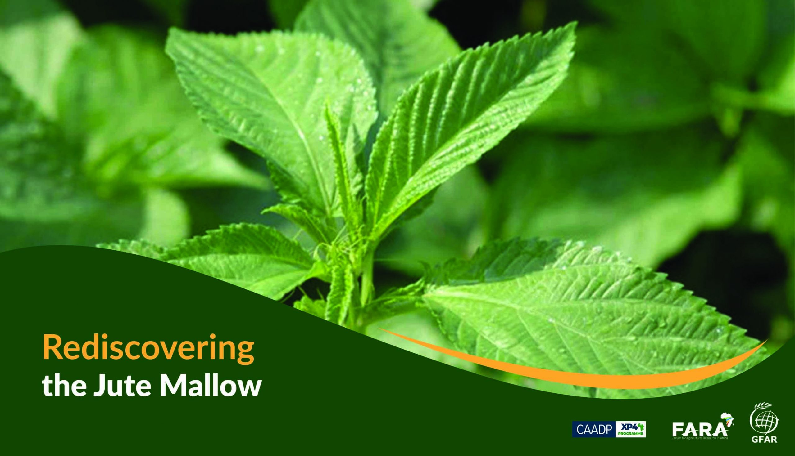 Rediscovering the Jute Mallow…a forgotten food